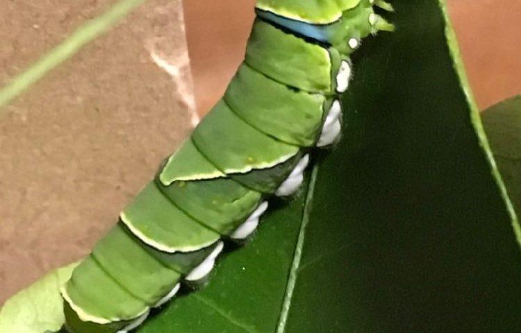 幼虫 アゲハチョウ の